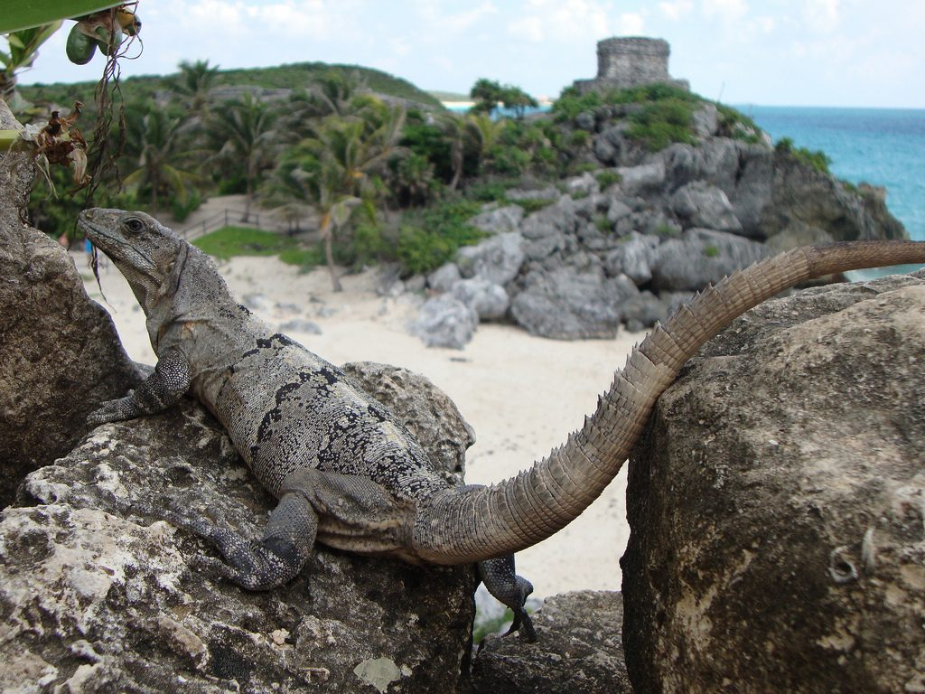 tulum travel tips, mexico, iguana