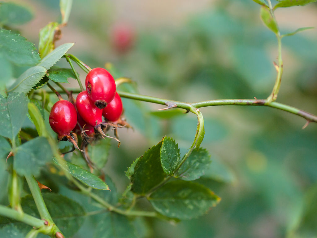 Rosehip Oil Benefits, Your New Beauty Secret Weapon