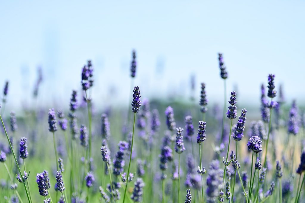 lavender filed in vermont