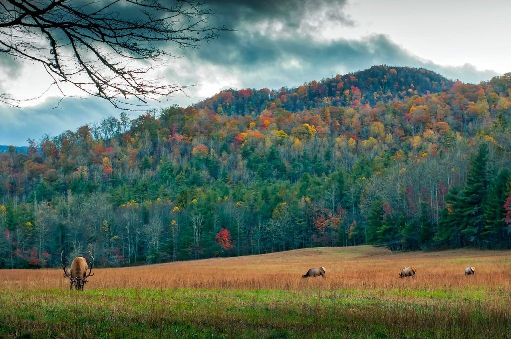 wild elk in the Smoky Mountains during fall colors Along Newfound Gap Road