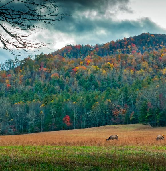 A Sight To Be Seen, Viewing Wild Elk In The Smoky Mountains