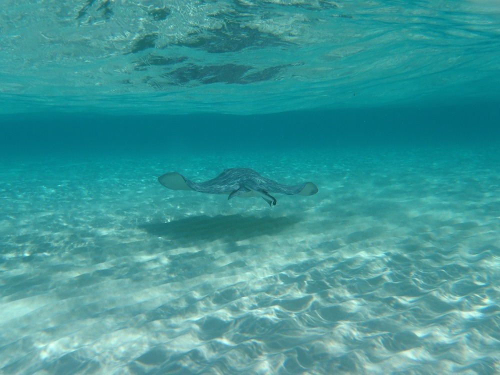 sting ray in the waters of Grand Cayman